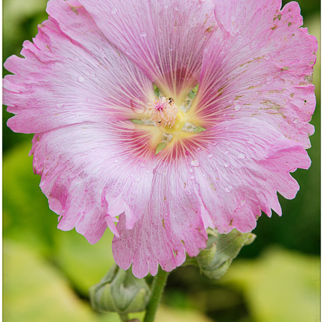 """""""Pink Flower - Full"""" stock image"""