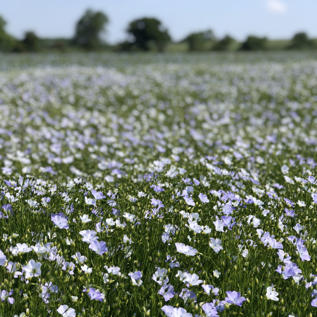"""Linseed in bloom"" stock image"