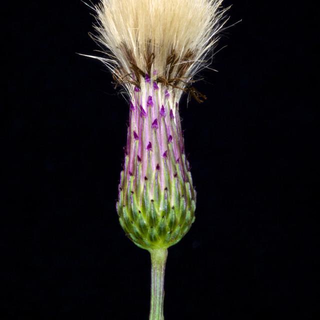 """Cirsium"" stock image"