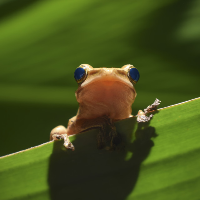 """""""A little frog is peeping"""" stock image"""