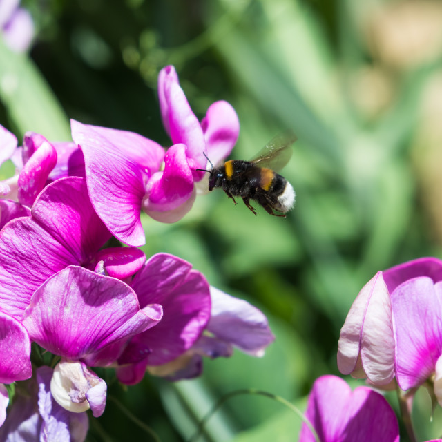 """""""Bumble Bee on a flower"""" stock image"""
