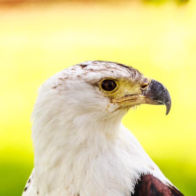 """American Fish Eagle"" stock image"