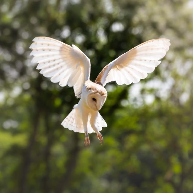 """Barn Owl in Flight"" stock image"