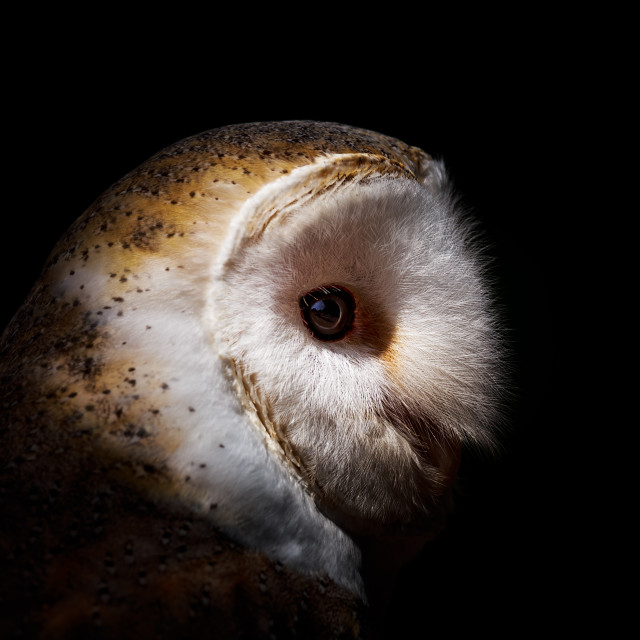 """Barn Owl Portrait"" stock image"