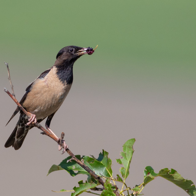 """Rosy starling carrying mulberry for the chicks - Pastor roseus"" stock image"