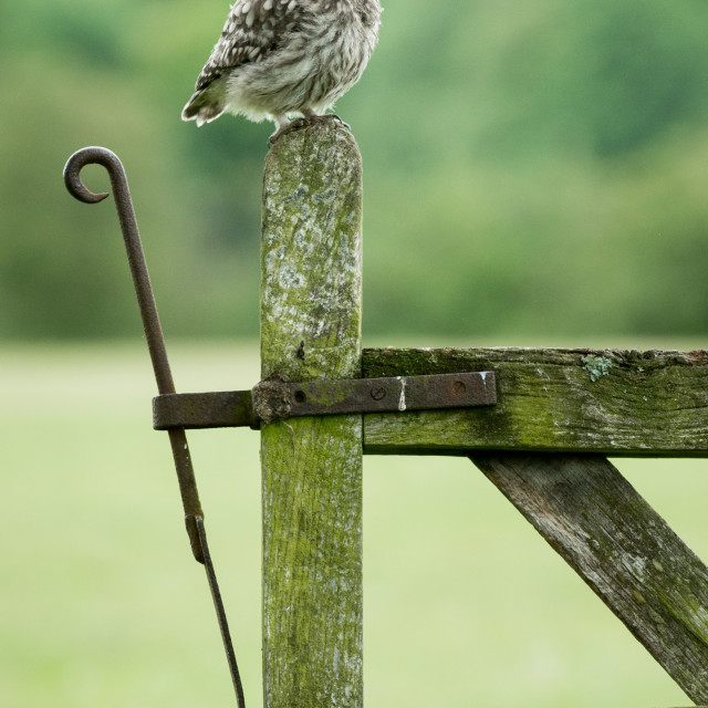 """""""Little Owl on old gate"""" stock image"""