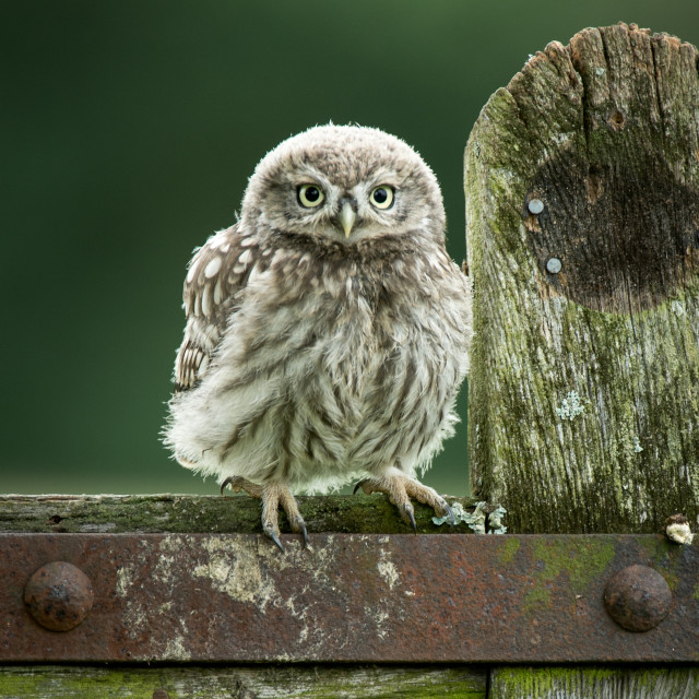 """""""Little Owl fledgling on old gate"""" stock image"""