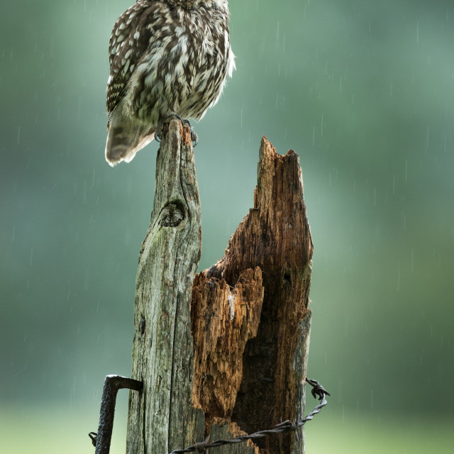 """Little Owl on old post in the rain"" stock image"