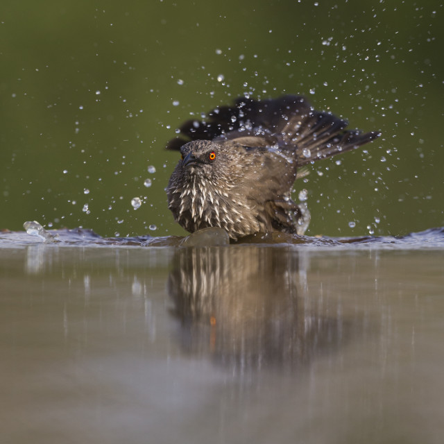 """Arrow-marked Babbler bathing"" stock image"