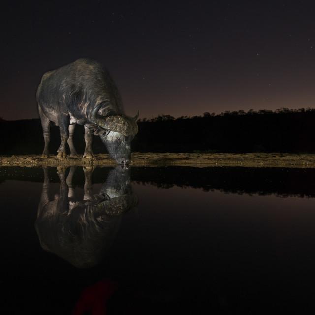 """Cape Buffalo drinking at night"" stock image"