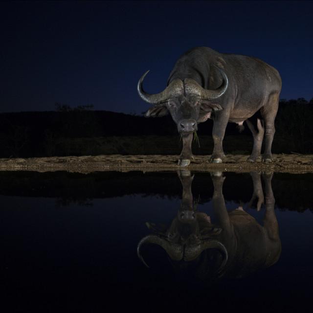 """Cape Buffalo at night"" stock image"