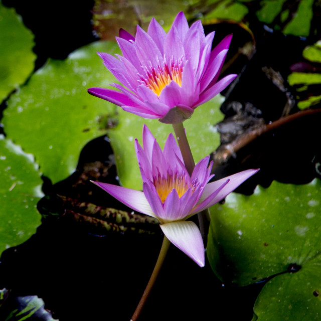 """""""Blooming Water Lilies"""" stock image"""