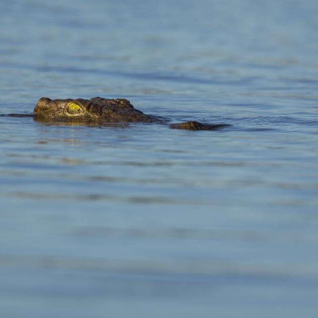 """Nile Crocodile"" stock image"
