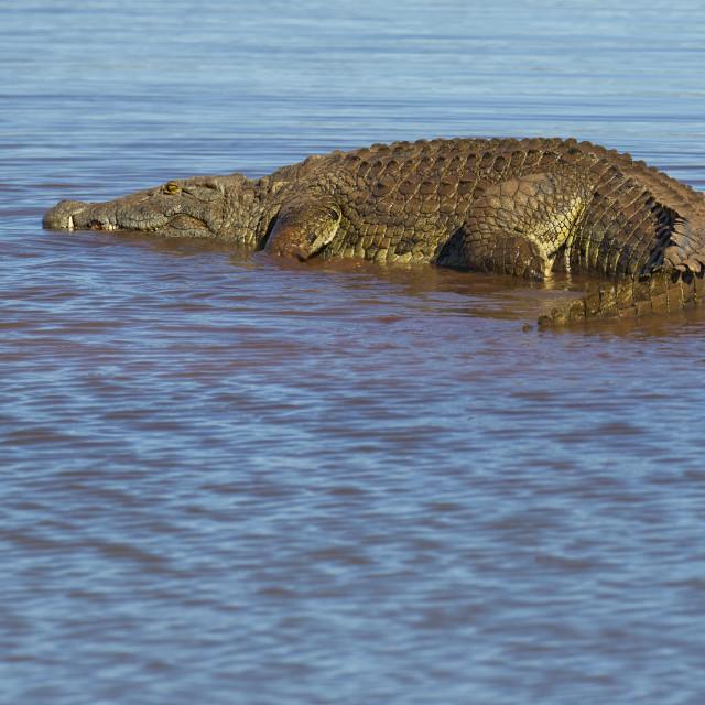 """""""Basking Crocodile"""" stock image"""