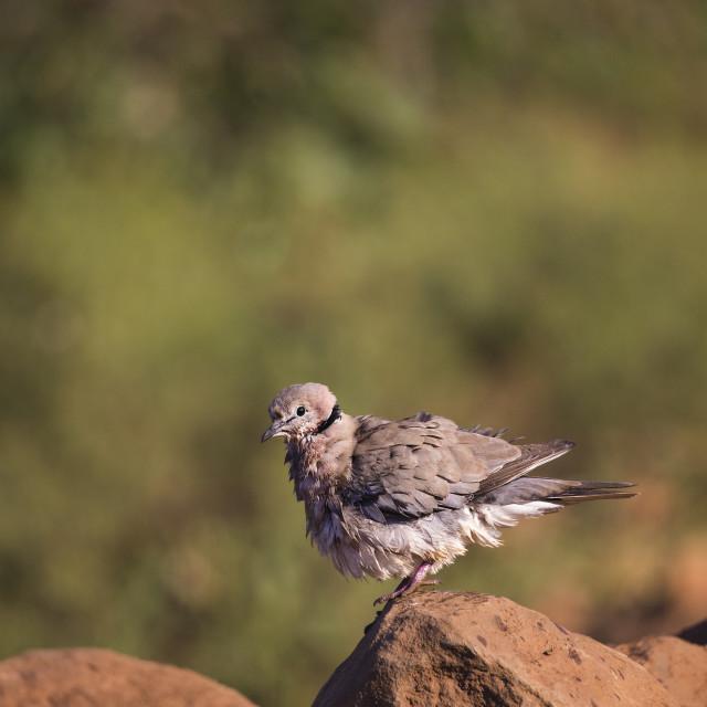 """""""Cape Turtle Dove"""" stock image"""