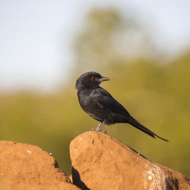 """""""Fork-tailed Drongo on rocks"""" stock image"""