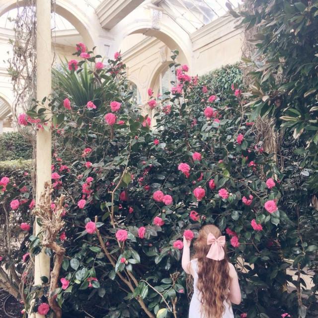 """Camellia in the orangery"" stock image"