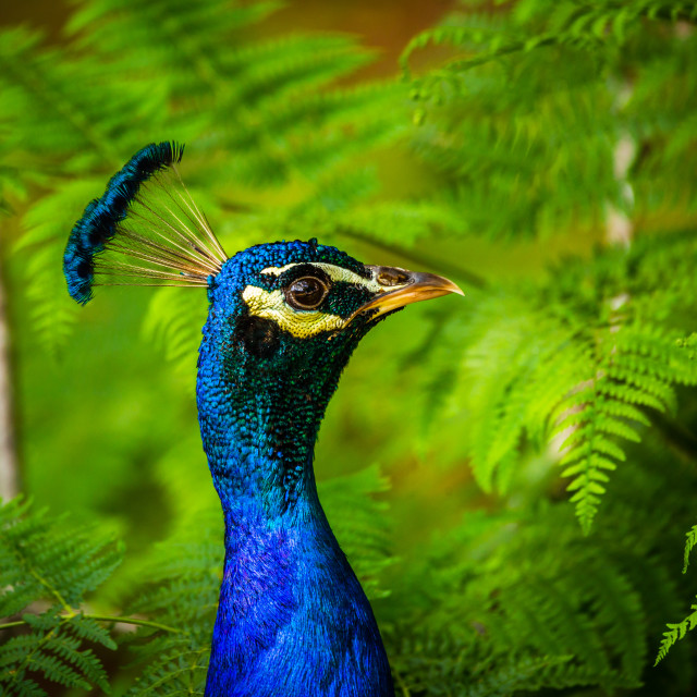 """Peacock in the Ferns"" stock image"