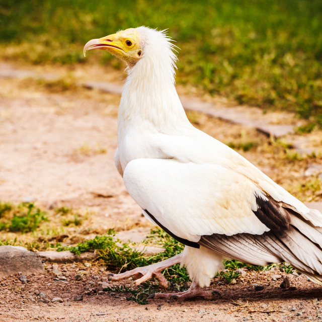 """Egyptian Vulture Walking"" stock image"