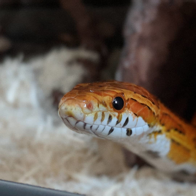 """Corn Snake"" stock image"