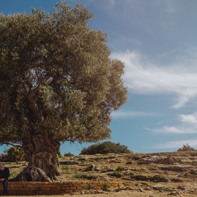 """Olive tree"" stock image"