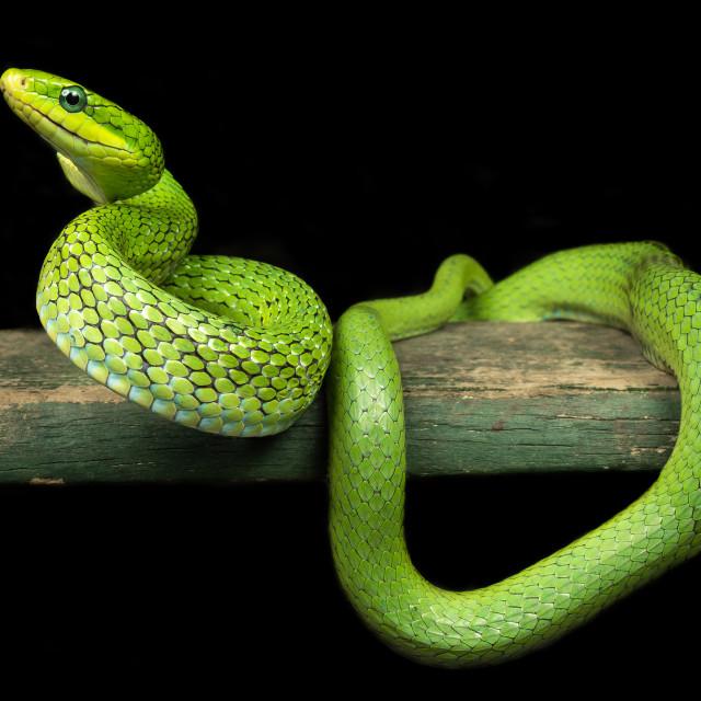 """""""Green ratsnake / Rhadinophis prasinus"""" stock image"""