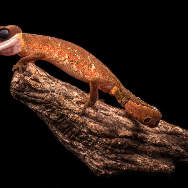 """""""Cat gecko / Aeluroscalabotes felinus"""" stock image"""