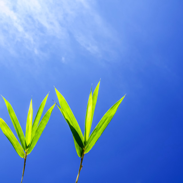 """Bamboo leaves against blue sky"" stock image"