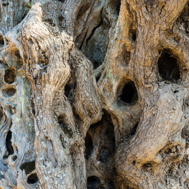 """""""Very Old Olive Tree Bark"""" stock image"""