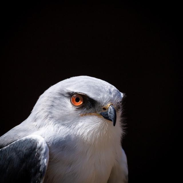 """Black-shouldered Kite"" stock image"