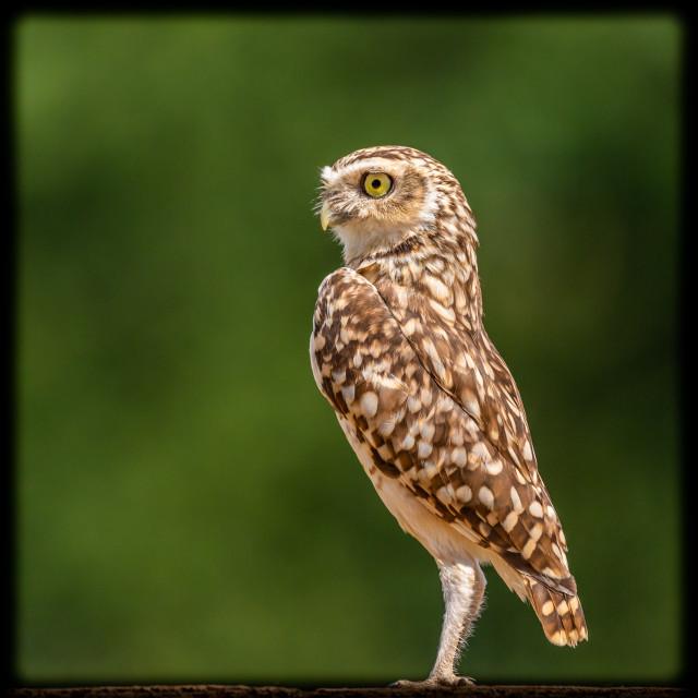"""Burrowing Owl Portrait"" stock image"
