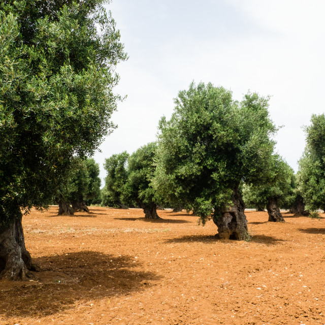 """""""Old Olive Trees"""" stock image"""