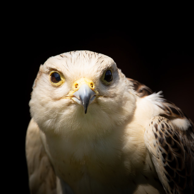 """Saker Falcon Portrait"" stock image"