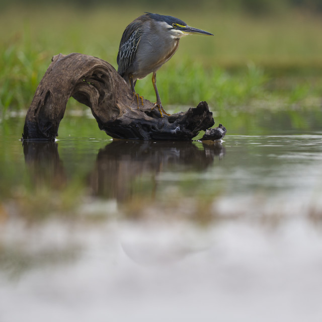 """Green-backed Heron perched on a log"" stock image"