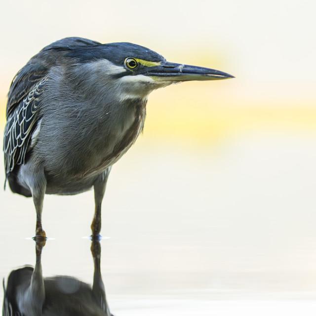 """Green-backed Heron"" stock image"