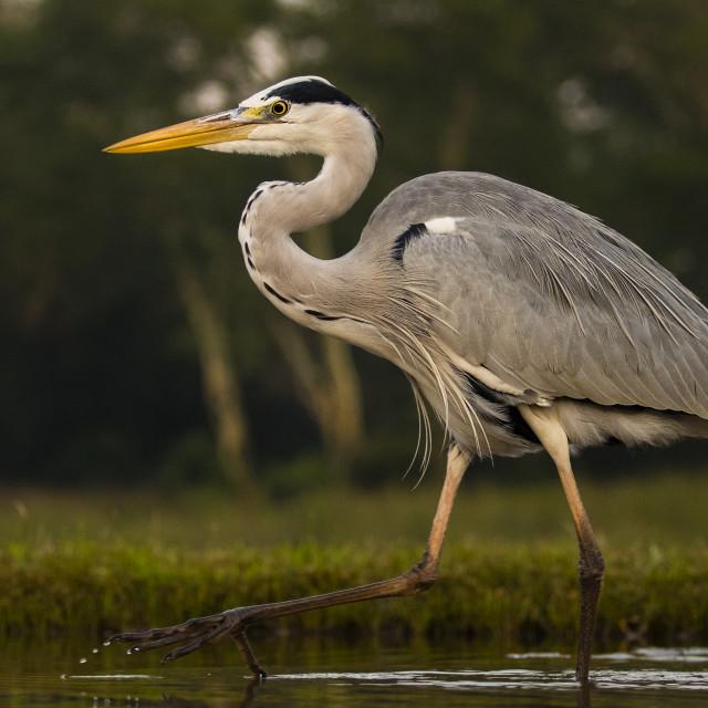 """""""Grey Heron walking through water"""" stock image"""