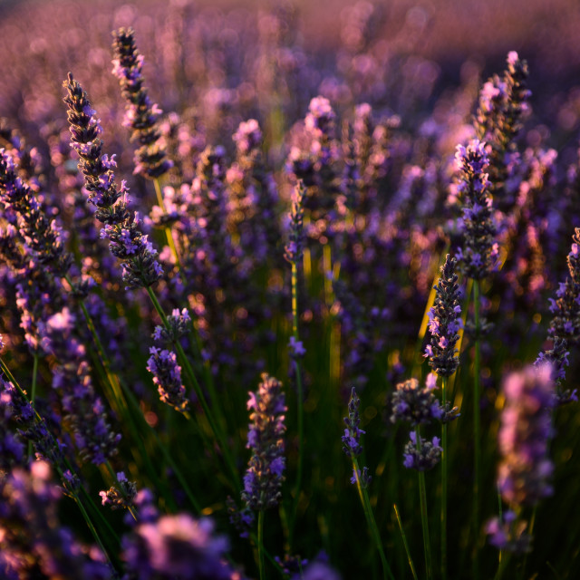 """""""close up detail of a lavender field"""" stock image"""