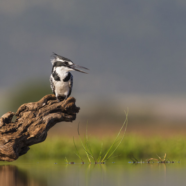 """""""Pied Kingfisher on dead branch"""" stock image"""