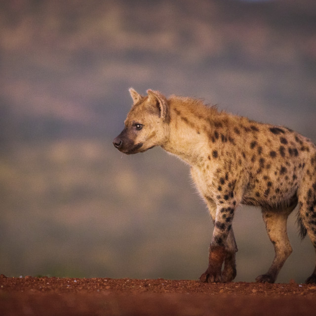 """Spotted Hyena at dawn"" stock image"