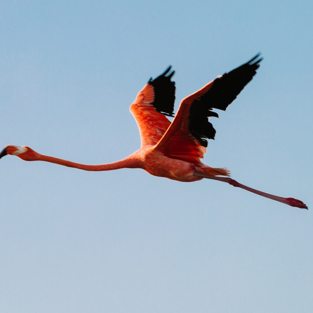 """A pink flamingo flies across a clear blue sky"" stock image"