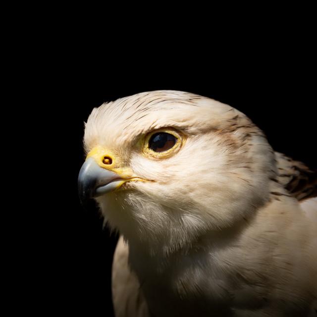 """Saker Falcon Portrait 2"" stock image"