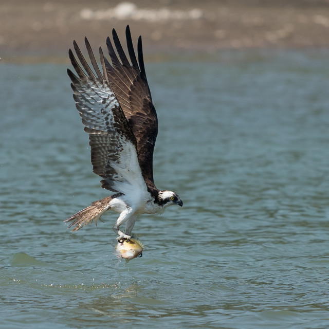 """""""Osprey catching fish from the lake."""" stock image"""