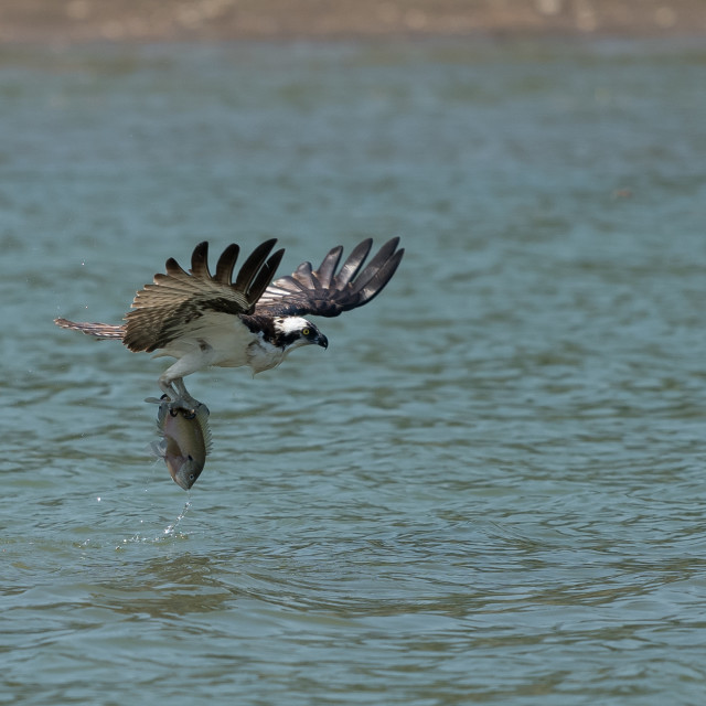 """Osprey catching fish from the lake."" stock image"