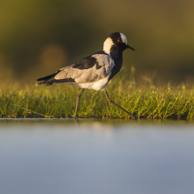 """Blacksmith Plover walking"" stock image"