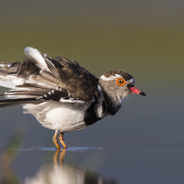 """Three-Banded Plover ruffling feathers"" stock image"