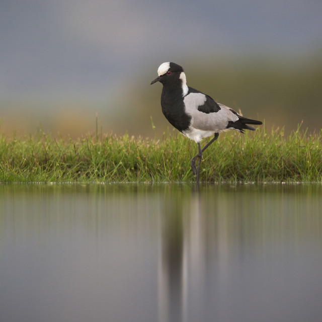 """Blacksmith Plover portrait"" stock image"