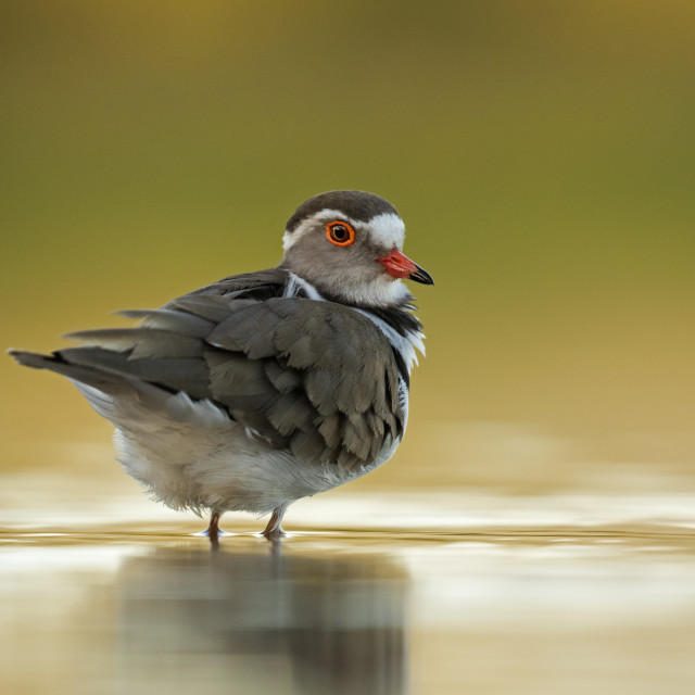 """Three-Banded Plover portrait"" stock image"