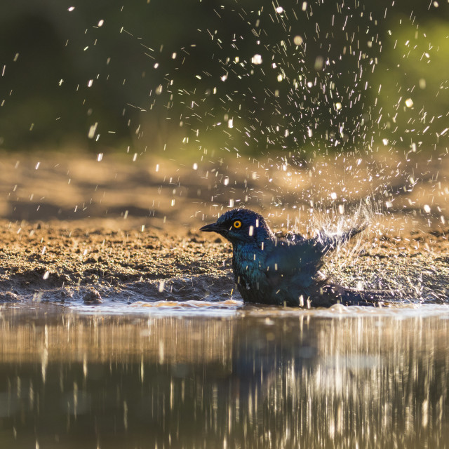 """Cape Glossy Starling bathing"" stock image"