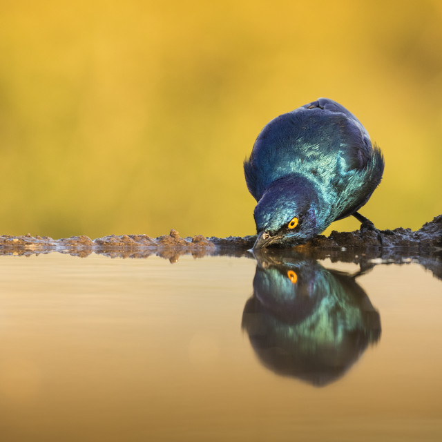 """Cape Glossy Starling drinking"" stock image"