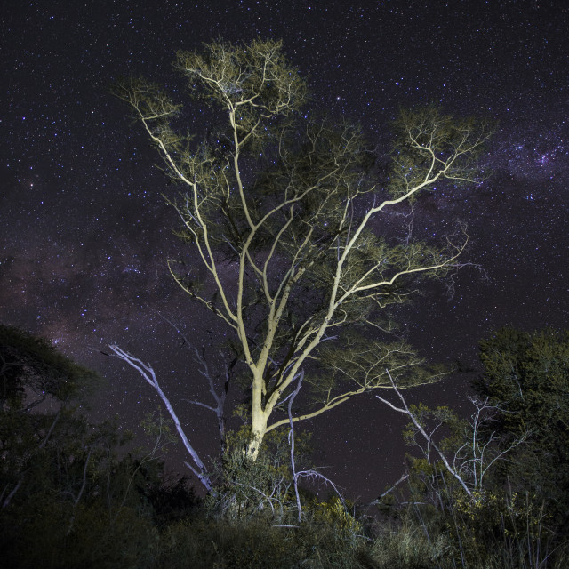 """""""Fever Tree lit at night"""" stock image"""